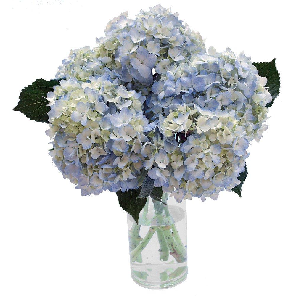 GlobalRose 40 Fresh Cut Blue Hydrangeas - Fresh Flowers For Weddings or Anniversary. by GlobalRose (Image #3)