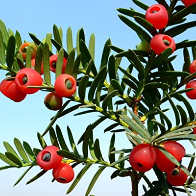 English Yew Tree Seeds, 10Pcs Taxus Baccata Seeds English Yew Tree Red Fruit Bonsai Home Garden Decor - English Yew Tree Seeds : Garden & Outdoor