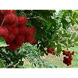 CATTERPILLAR FARM Azalea Gardens Rare Exotic Tropical Fruit Red Rambutan Nephelium lappaceum 1 Healthy Live Plant