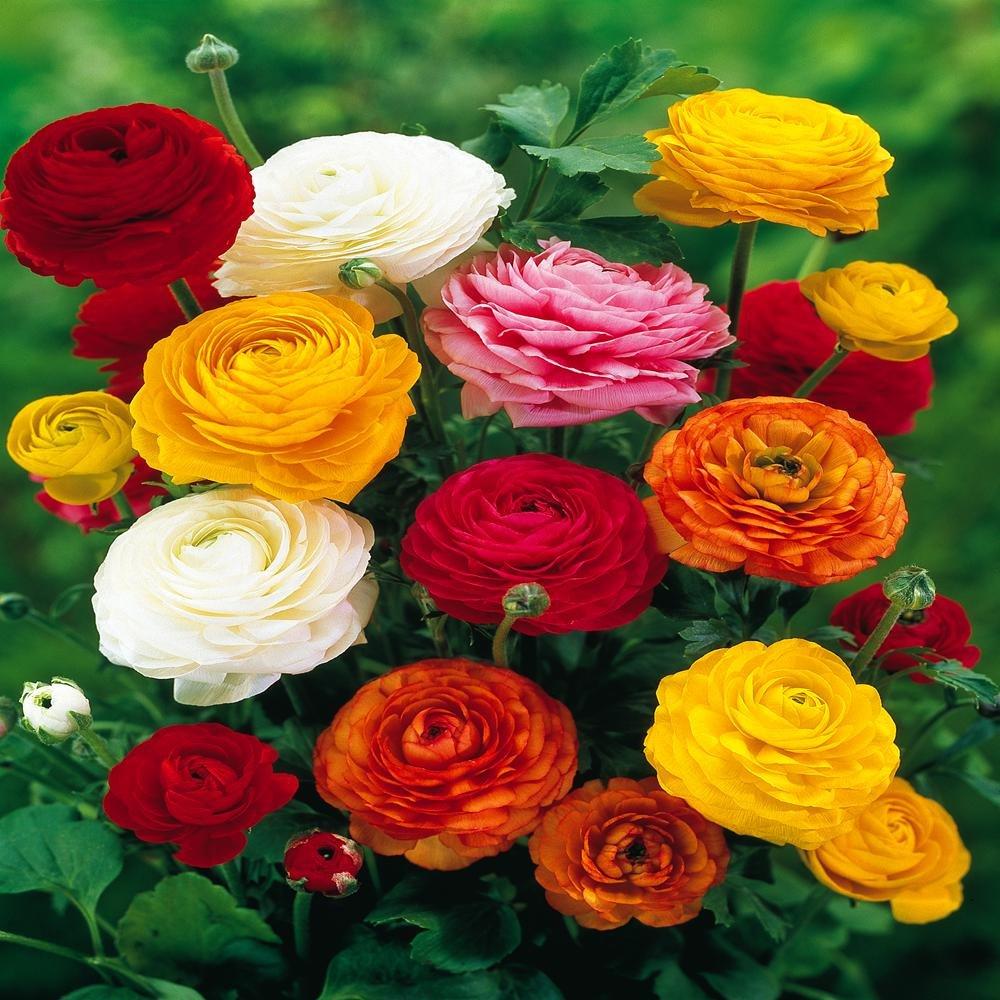 Ranunculus asiaticus Mix - 20 flower bulbs Gardens4you