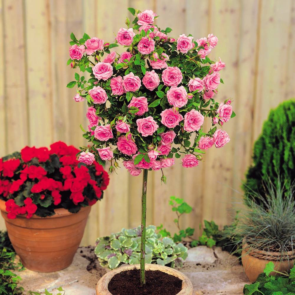 Meillandina mini standard rose Pink - 1 rose Gardens4you