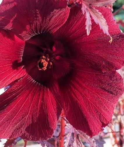 Amazoncom Cranberry Hibiscus Acetosella Mahogany Splendor