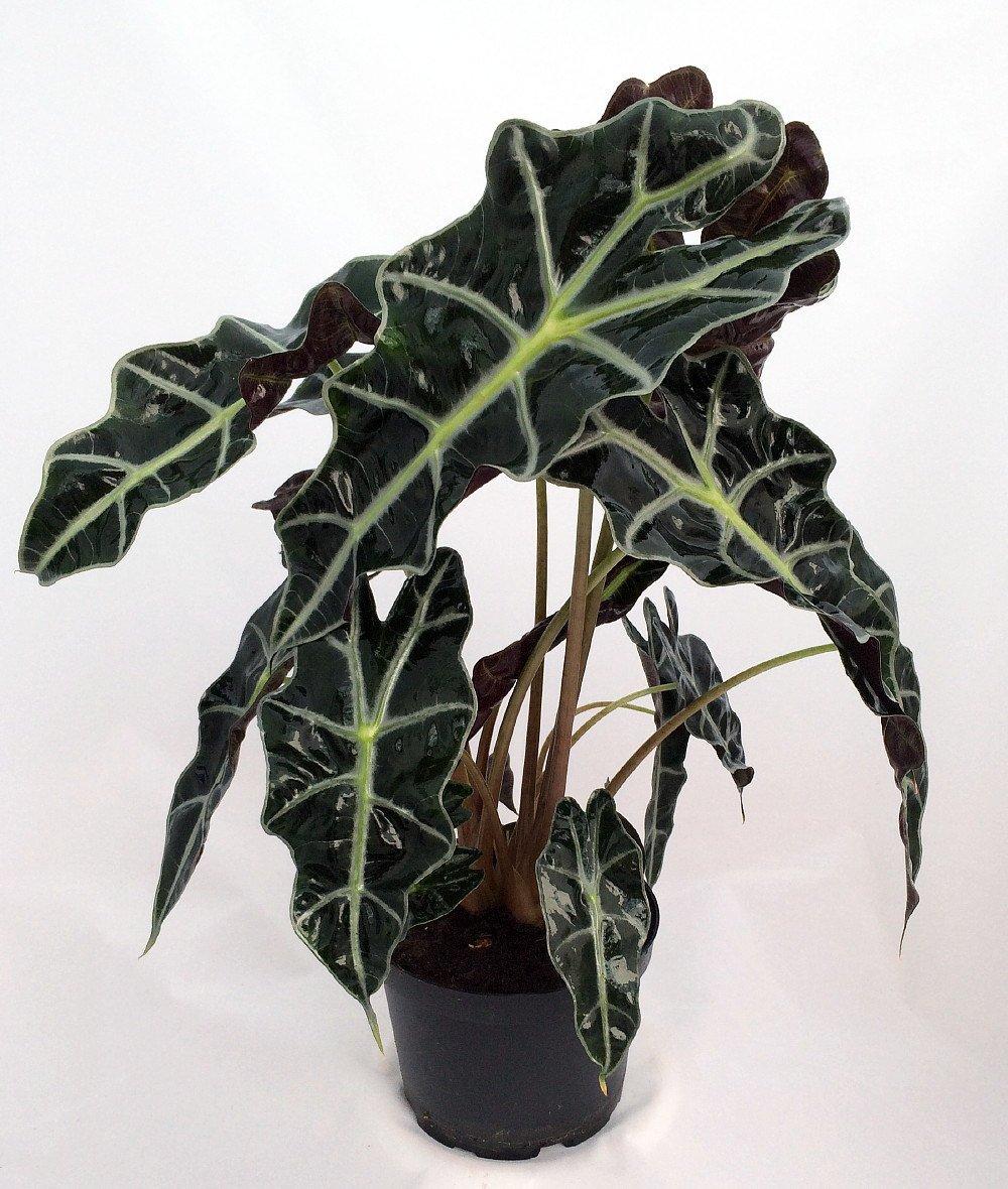 Amazon Black Shield Plant - Alocasia Polly - Live Houseplant - Clean Air! by Florida Foliage (Image #2)