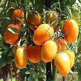 10 Samen Orange Banana Tomate – Allroundsorte, sehr robust