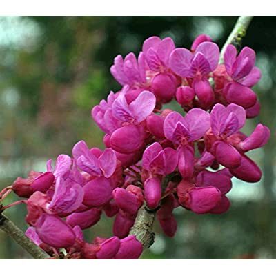 """Don Egolf Chinese Redbud Tree - Cercis - Outdoors or Bonsai - 4"""" Pot : Plants : Garden & Outdoor"""