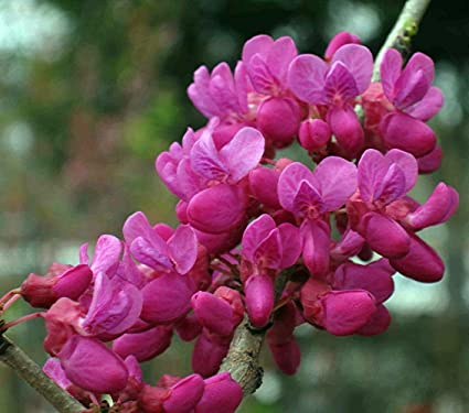 don egolf chinese redbud tree cercis outdoors or bonsai 4 quot