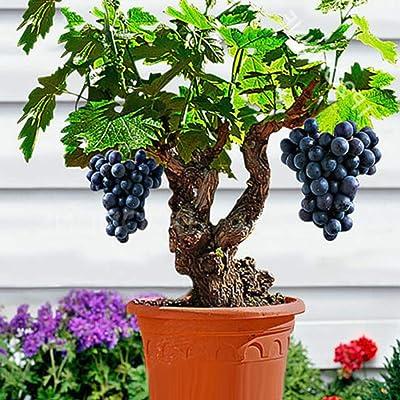 Maserfaliw Grape Seed 85Pcs Bonsai Dwarf Mini Grape Seed Delicious Fruit Plant Garden Balcony Decor Grape Seed : Garden & Outdoor