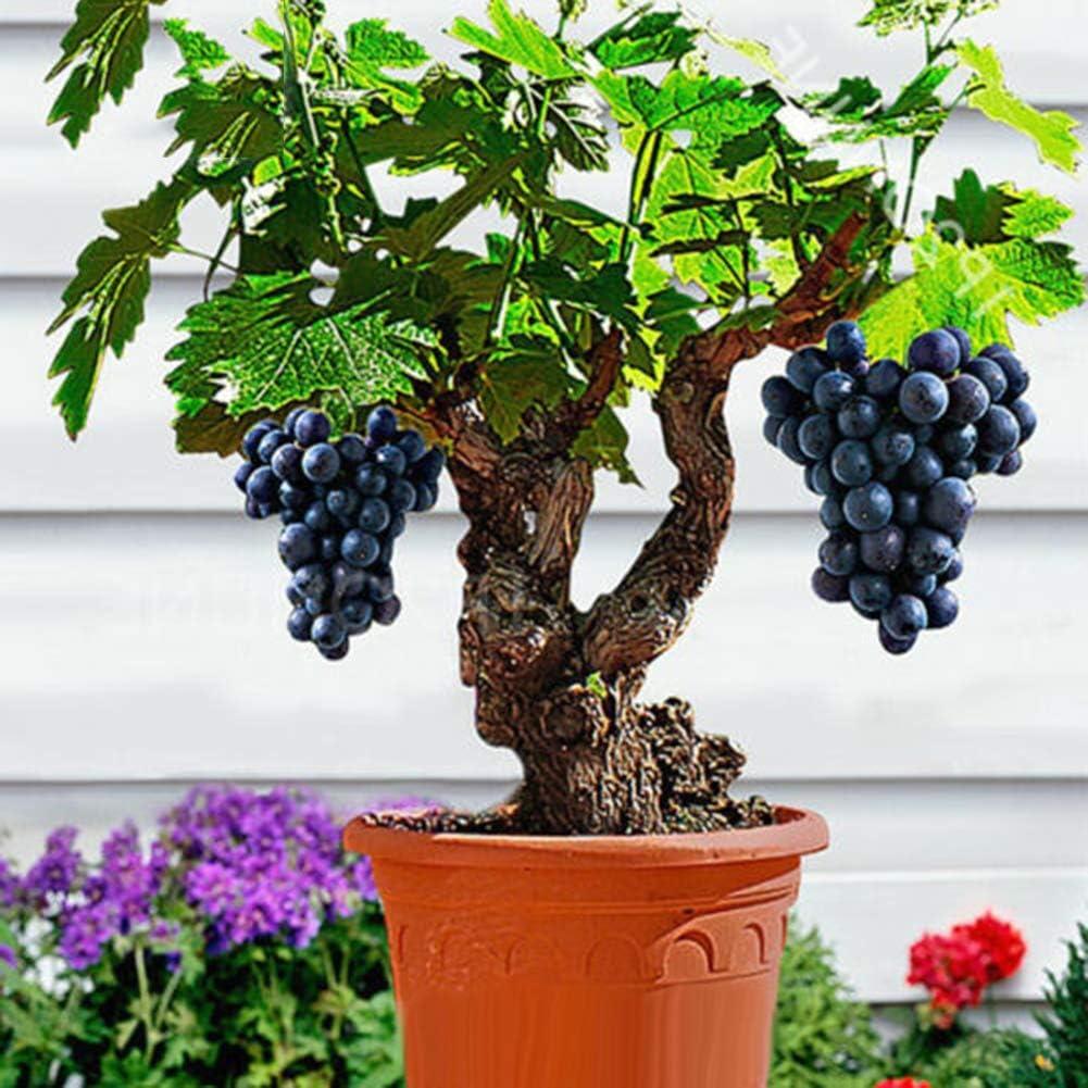 Lai-LYQ 85Pcs Mini Grape Seeds Dwarf Bonsai Delicious Fruit Plant Home Yard Garden Balcony Decor Gift Grape Seeds
