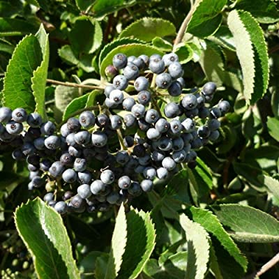 25+ Seeds Blue Elderberry Sambucus Caerulea Fruit Seeds for Planting OMC-RR : Garden & Outdoor