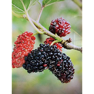 AchmadAnam - Live Plant - 2 red Mulberry Trees! Great Eating Fruit, Butterflies and Bees Love Them Too! Trees 1 ft Tall. E18 : Garden & Outdoor