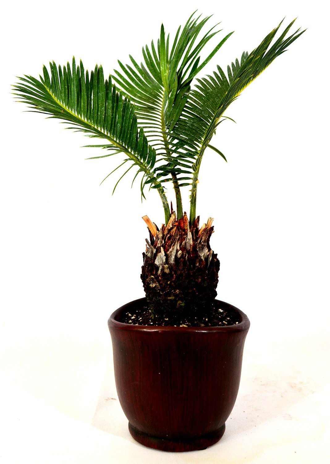 Sago Palm - 4.5'' Ceramic Pot - unique from jmbamboo by JM BAMBOO