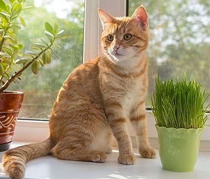 Semillas de hierba de gato -