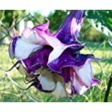 Doppelt Lavendel Engel Trompete 6Samen Stechapfel von Hirts: Samen, mehrjährig