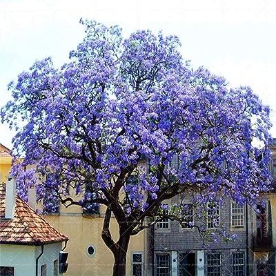 Caiuet 200Pcs Mixed Royal Empress Tree Seeds Paulownia Elongata Tree Seeds Fast Growing Tree : Garden & Outdoor