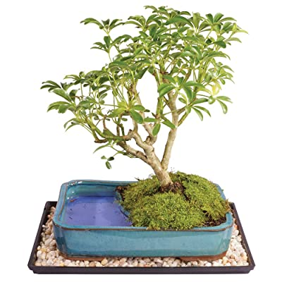 "Brussel's Live Dwarf Hawaiian Umbrella Indoor Bonsai Tree in Water Pot - 7 Years Old; 8"" to 10"" Tall with Decorative Container, Humidity Tray & Deco Rock: Garden & Outdoor"