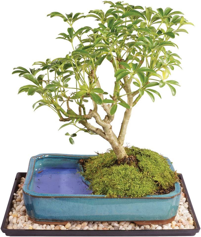 Amazon Com Brussel S Live Dwarf Hawaiian Umbrella Indoor Bonsai Tree In Water Pot 7 Years Old 8 To 10 Tall With Decorative Container Humidity Tray Deco Rock Garden Outdoor