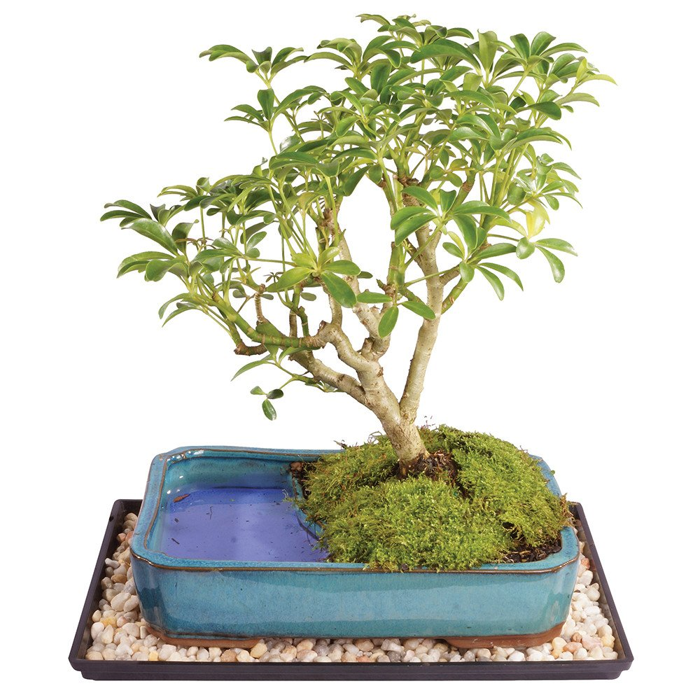 Brussel's Live Dwarf Hawaiian Umbrella Indoor Bonsai Tree in Water Pot - 7 Years Old; 8'' to 10'' Tall with Decorative Container, Humidity Tray & Deco Rock