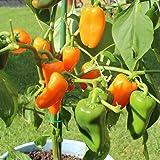 10 Samen Snackpaprika orange – guter Ertrag, Ideal zum Naschen