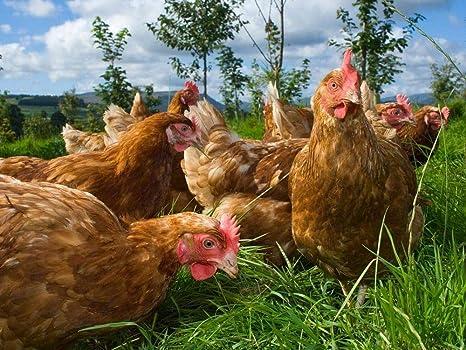 Resultado de imagen para aves a pasto