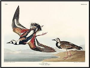 Turn-Stone Print, Antique Bird Painting, Vintage Drawing Poster Wall Art Decor, Turnstone, Bird Home Decor, Native Bird Art | C524 8.5x11
