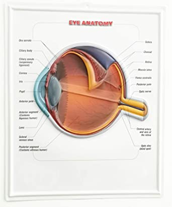 Eye 3D Poster Anatomy Wall Chart,Updated Bump Design Blister Picutre Schematic Diagram Of The Eye on cross section of the eye, flowchart of the eye, schematic eye retinoscopy, sagittal section of the eye, schematic section of the human eye, cutaway view of the eye, midsagittal section of the eye, transverse section of the eye, cross section diagram of eye,
