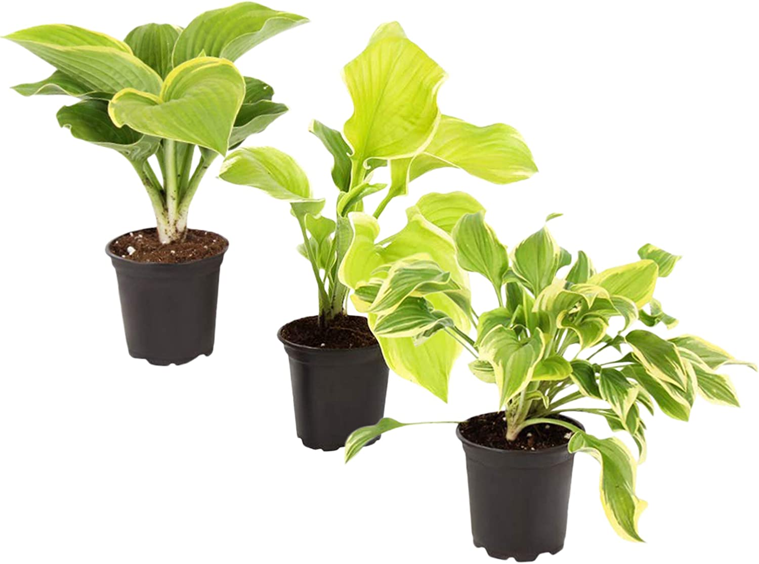 The Three Company Beautiful Live 1 Quart Hostas (3 Per Pack), Accent and Landscape Plant, Assorted Colors