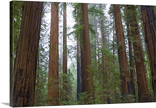 Redwood Trees Canvas Wall Art Print