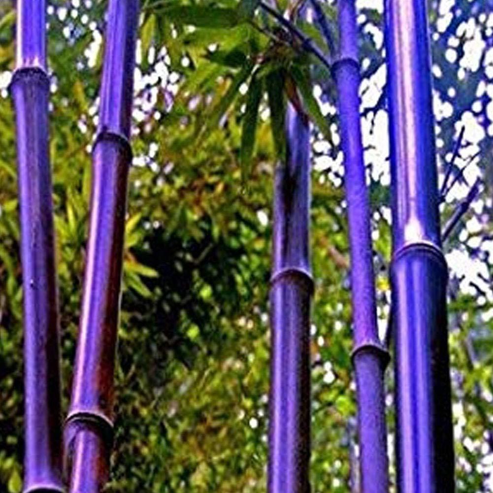 QHYDZ Garden-100pcs Ex/ótico Semillas de Bamb/ú Mix Color Perennes Plantas Ornamentales Resistentes Semillas Plantas Invierno para Jardin /…