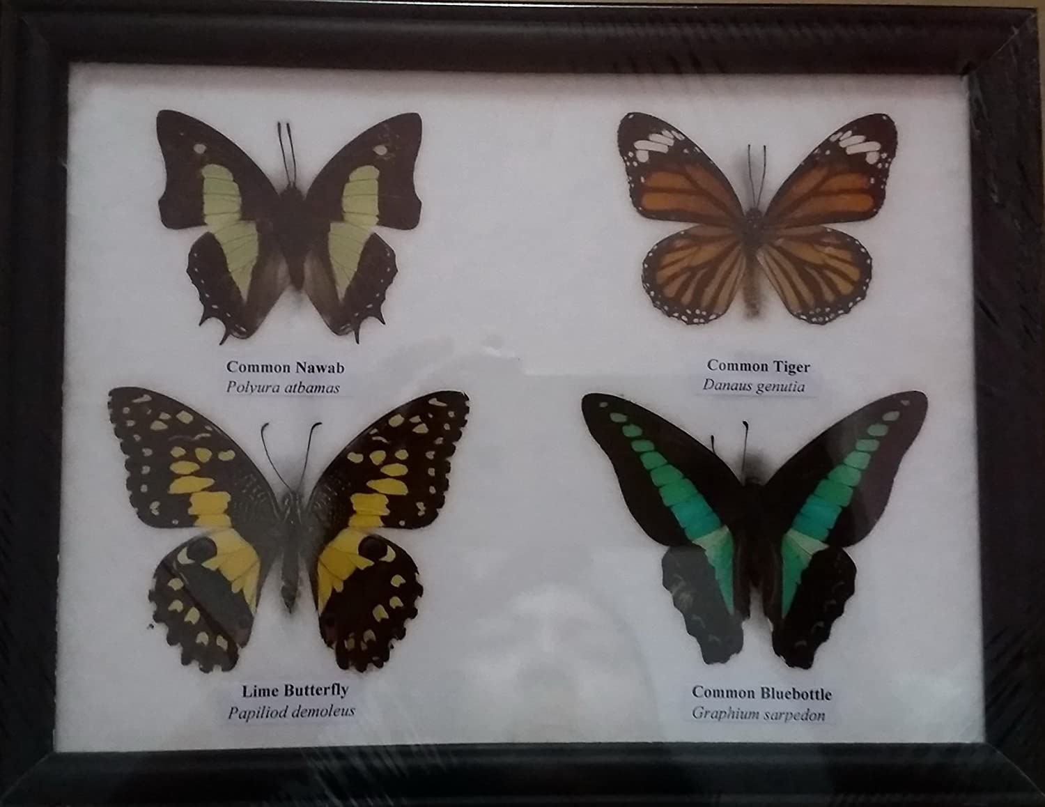 Real Butterfly Framed Common Bluebottle Graphium Sarpedon Wood Frame Home Decor