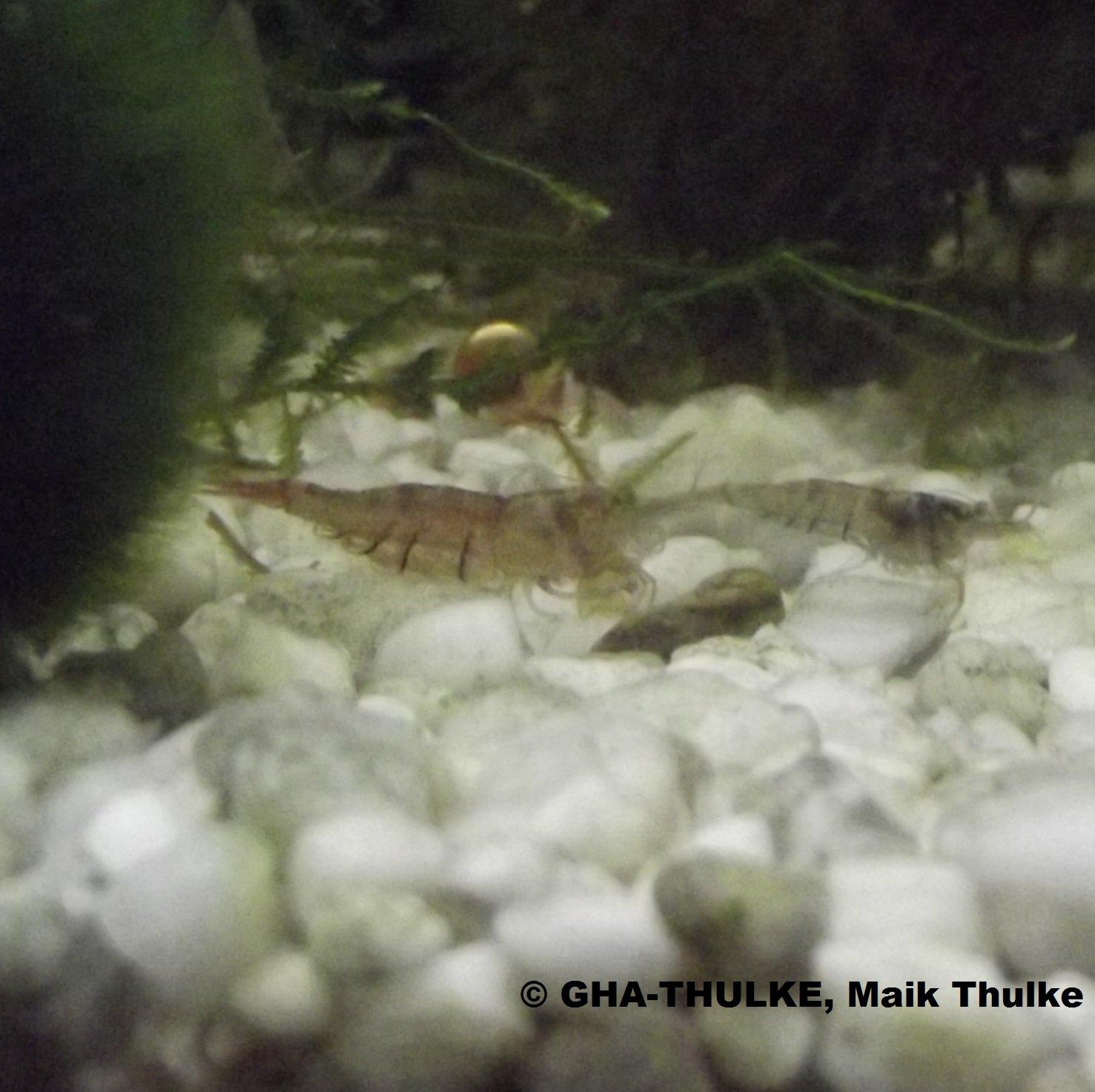 NSulawesi Inlandsgarnele - Caridina pareparensis parvidentata 5 Tiere GHA-Thulke