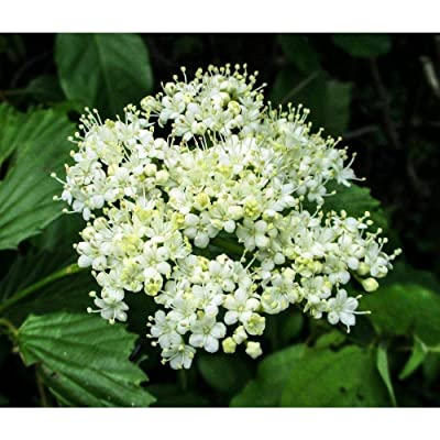 Arrowwood Viburnum Established Perennial Shrub in 1 Gallon Trade Pot 1 Plant #GWS03 : Garden & Outdoor