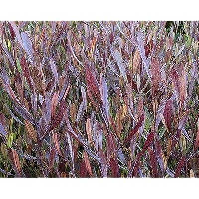 20 Seeds Dodonaea Viscosa Purpurea Purple Hopseed Bush Shrub Garden tkgre : Garden & Outdoor