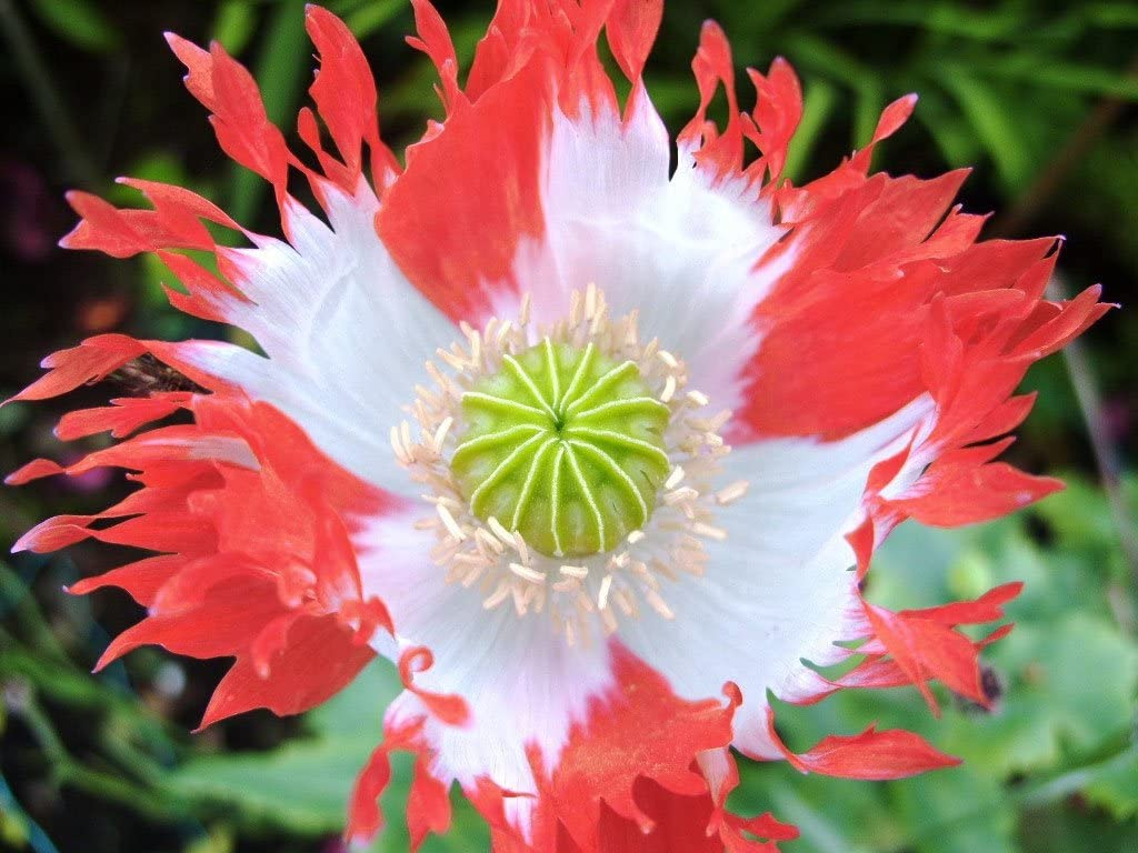 Opium Poppy Danish Flag Seeds Breadseed Poppy