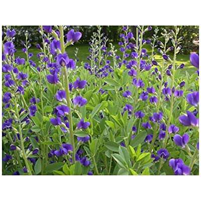 Blue False Indigo (Baptisia Australis), Seed Packet, True Native Seed : Flowering Plants : Garden & Outdoor