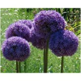 allium giganteum oignon g ant oignon perse plante violette beaux fleurs seeds garden plant gift. Black Bedroom Furniture Sets. Home Design Ideas