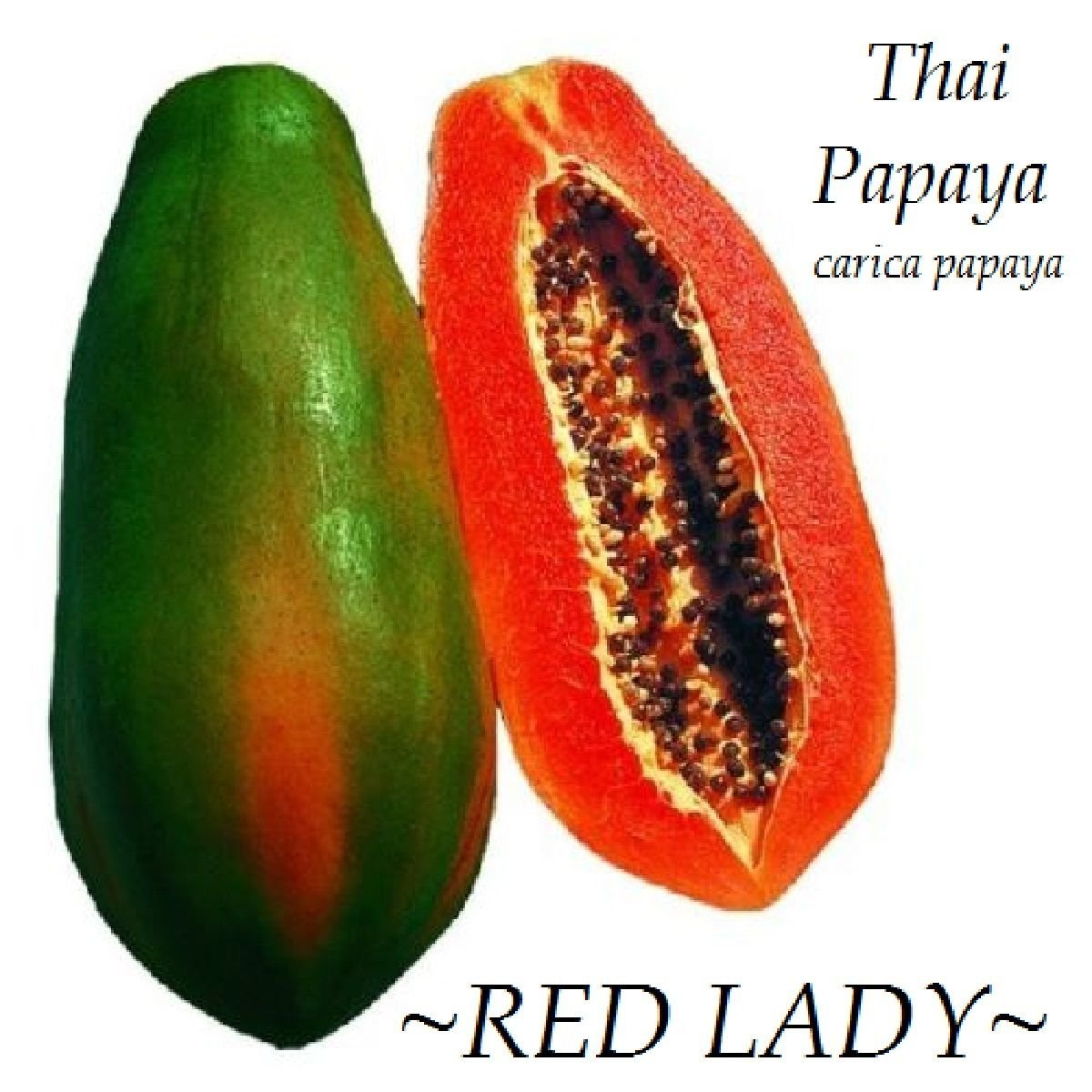 ~RED LADY~ Dwarf Thai PAPAYA short tree RED YUMMY FLESH imported 100 Fresh Seeds