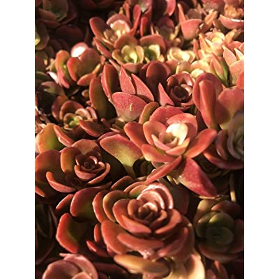 """AchmadAnam - Live Plant - Sedum Chinese - Coral Reef - Bright Red Succulent Groundcover-Full Flat 16""""x16"""" : Garden & Outdoor"""