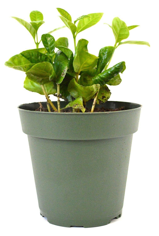 Arabica Coffee Plant Fruit 4'' Pot Indoor Outdoor Garden Houseplant Best Gift NEW