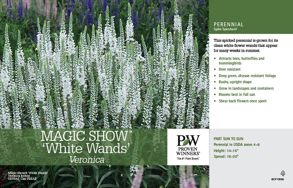 Amazon magic show white wands veronica speedwell gallon amazon magic show white wands veronica speedwell gallon pot proven winners garden outdoor mightylinksfo