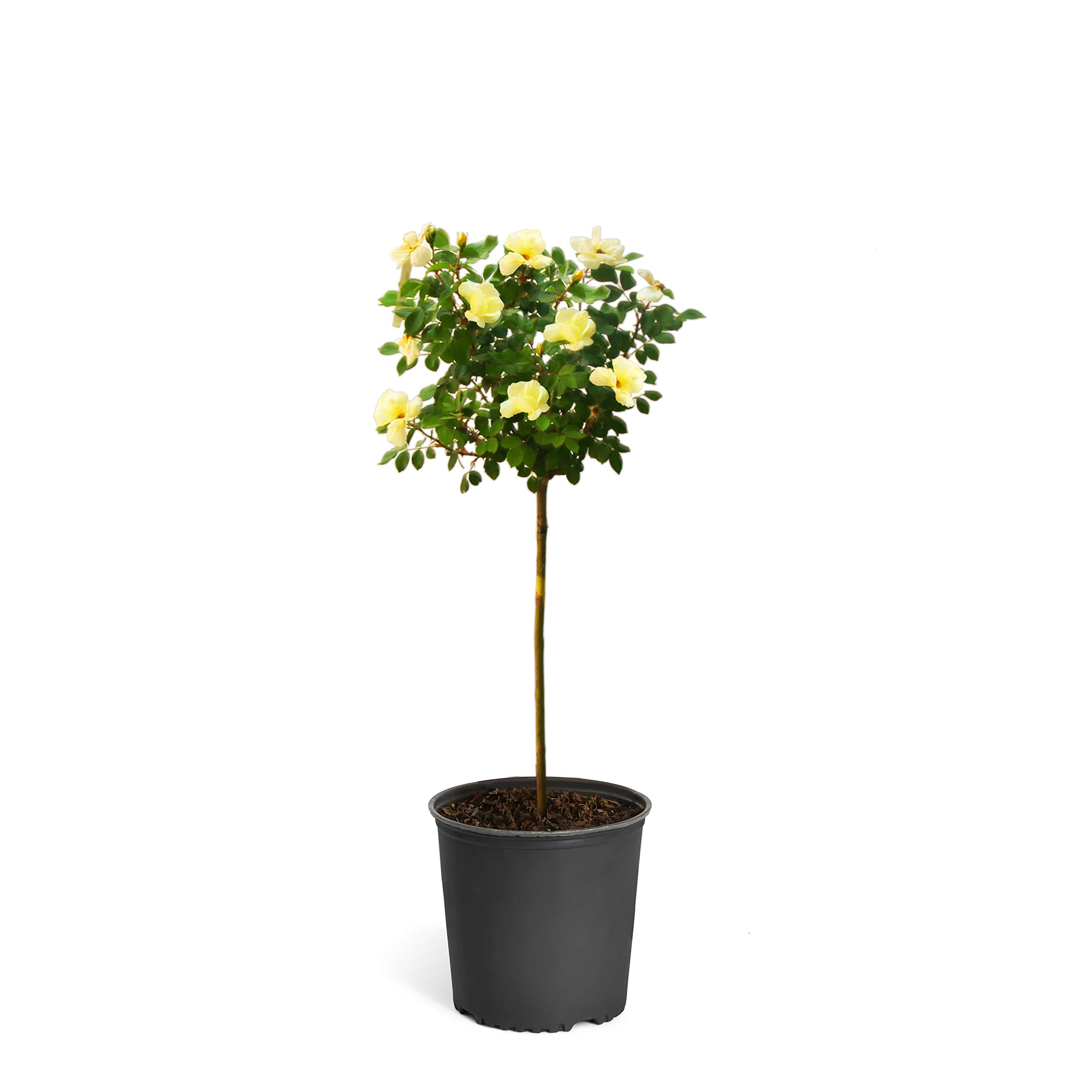 Sunny Knock Out Rose Trees 2-3 feet Tall - Tons of Fragrant Yellow Knock Out Roses on a Patio Rose Tree | Cannot Ship to AZ