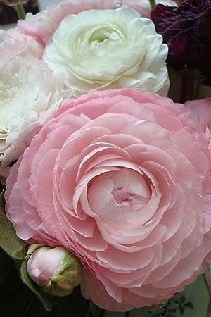12 ranunculus pink white mix peony like heads perennial flower 12 ranunculus pink white mix peony like heads perennial flower bulbs mightylinksfo