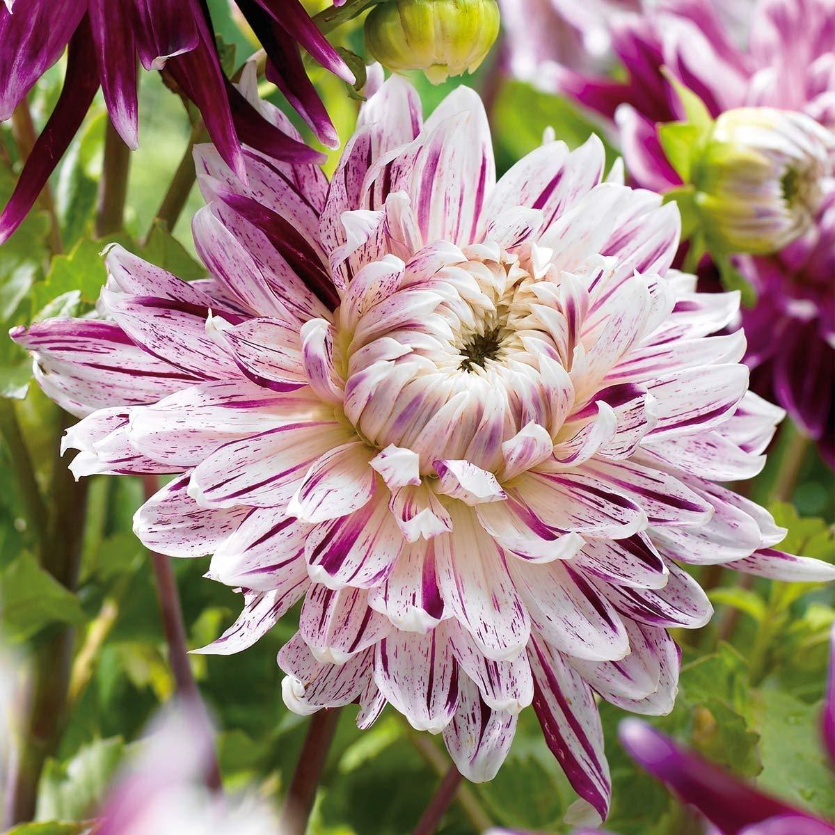 Highlight in jedem Garten gro/ßblumig lila wei/ß XXL Dahlien 2er Pack JUB Holland Blumenzwiebel Set