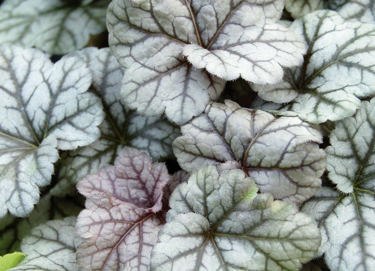 Heuchera - Purpurglöckchen Cinnabar Silver Neuheit 2017 - in Gärtnerqualität von Blumen Eber