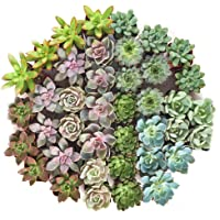 Shop Succulents Radiant Rosette Live Mini Succulent 32-Plant Collection