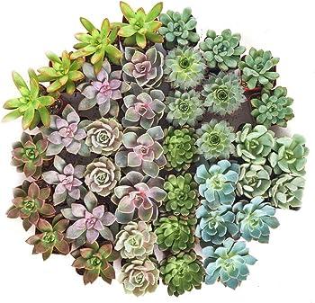Shop Succulents Radiant Rosette Live Mini Succulent 32-Plant Collection