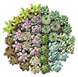 Shop Succulents | Radiant Rosette Collection of