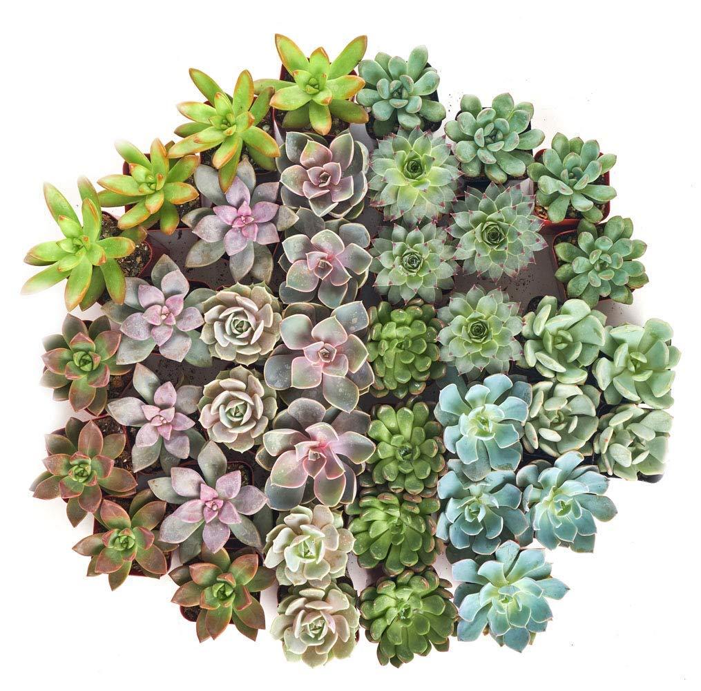 Shop Succulents Rosette Succulent (Collection of 40) by Shop Succulents (Image #3)