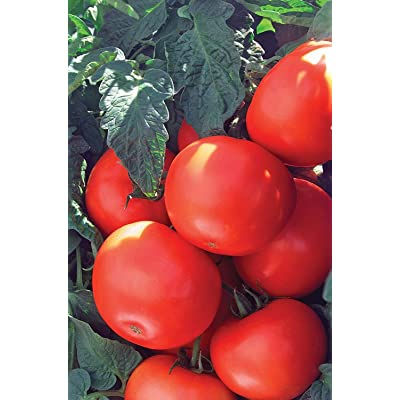 Cherry Tomato Seeds for Planting Home Garden - 400 Heirloom Vegetable Seeds Cherry Tomato : Garden & Outdoor