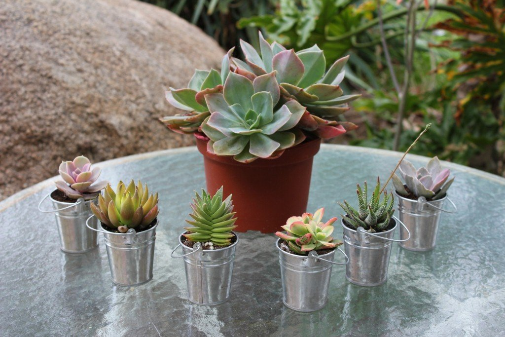 80 SUCCULENT Wedding Favor Kits with Pail by Jiimz (Image #1)