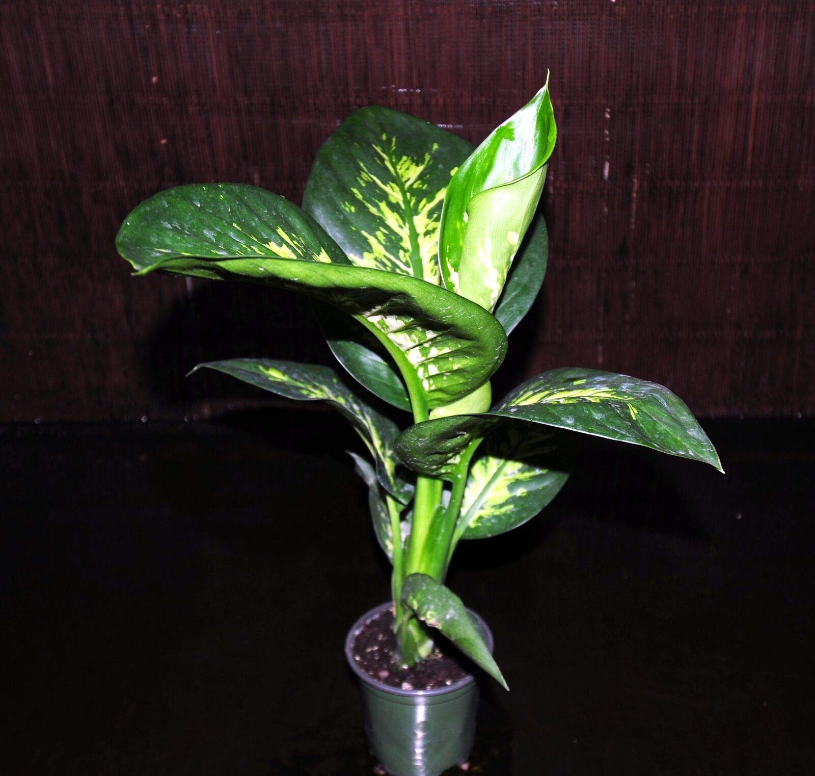 Back in Stock~Dieffenbachia Tropic Snow Super Nice 4'' Pots Tropical House Plant (Premium Quality) by AY-Premium